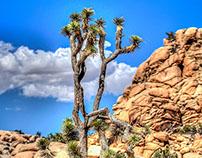Joshua Tree in HDR