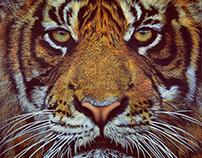 Tiger - 2017