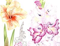 Glayöl / gladiolus