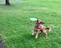 How to teach your dog to catch a flying disc (Frisbee)