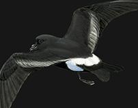 Birds of the Azores II