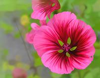 215 Mallow Flower