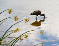 Wildlife at the Viera Wetlands