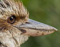 Kookaburra Photography