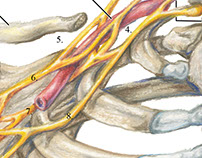 Brachial Plexus in Colored Pencil