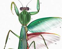 Rhombodera Basalis Illustration