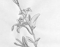 Drawings: Flowers