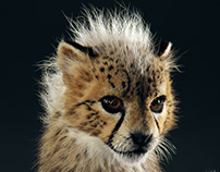The Baby Cheetah in studio