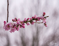 Almond blossoms snow covered
