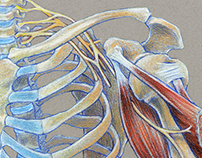 Medical Illustration - Traditional Media