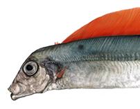 Trachipterus arcticus
