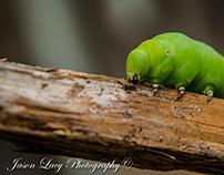 Hornworm