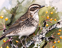 Dusky thrush for Club 300 Sweden