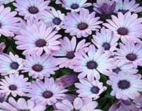 """Retoque fotográfico """"Manto de flores"""""""