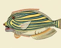 Infertile fishes: Allocyttus Pseudolais (collage)