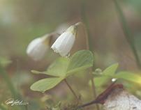Delicate wood sorrel
