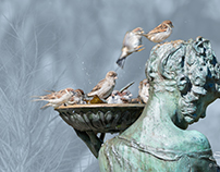 House Sparrows Bathing, Conservatory, Central Park 10/5
