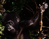 Explorer Silverback Gorilla, Bwindi