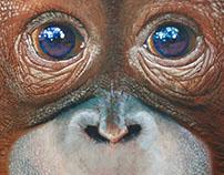 Orangutan (infant) - 2016