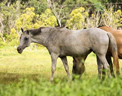 Wai Koa Horses