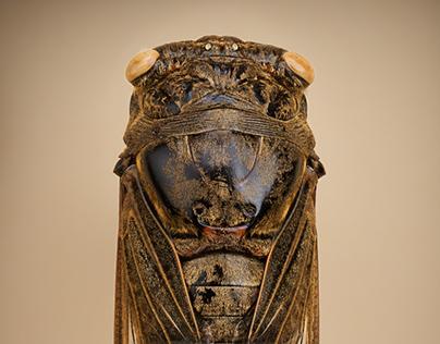 Summer Cicadas