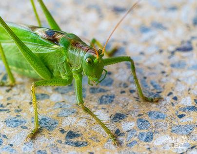 Heuschrecke--Grasshopper