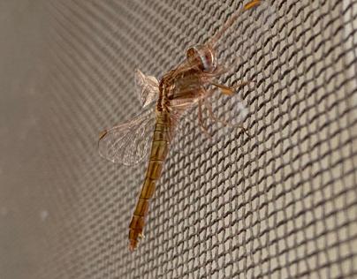 Pantala flavescens.Dragonfly2.