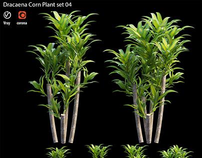 Dracaena Corn Plant set 04