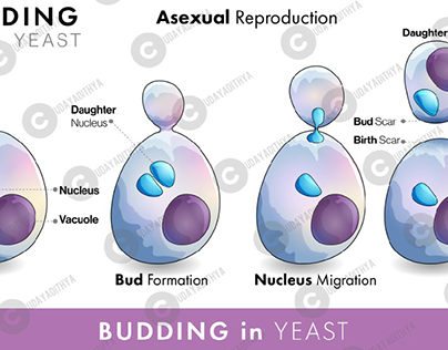 biology vectors science yeast budding