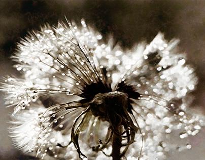 Wet dandelion. Dew drops