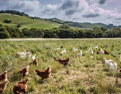 Kỹ thuật nuôi gà thả vườn kiểu mới