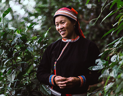 Picking Shan Tuyet tea with Red Dao women