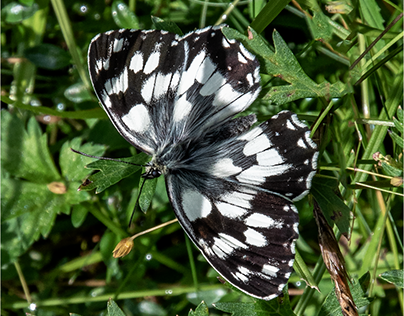farfalle in val Masino (I)