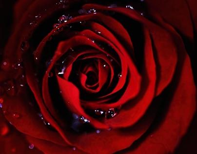 Dark Red Rose HD Wallpaper 1920x1080