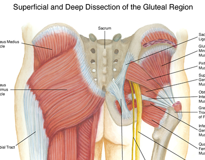 Gluteal Region Diagram