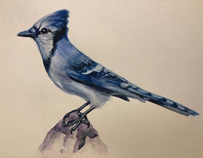 Illustration Blue jay watercolor