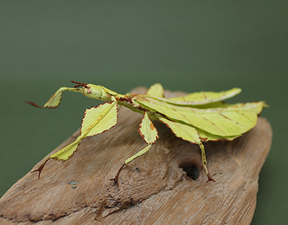 Crepe Paper Leaf Insect