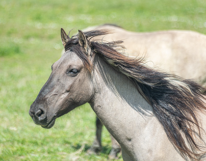 The horses of Lauwersmeer National Park.