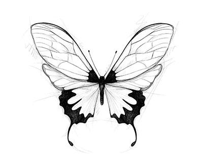 croquis de papillons