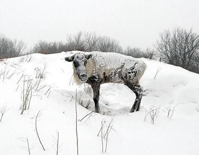 Eenie woodland caribou