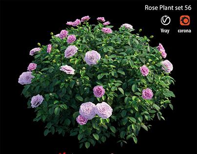 Rose plant set 56
