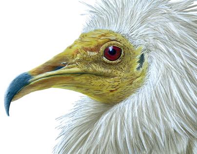 Egypt vulture