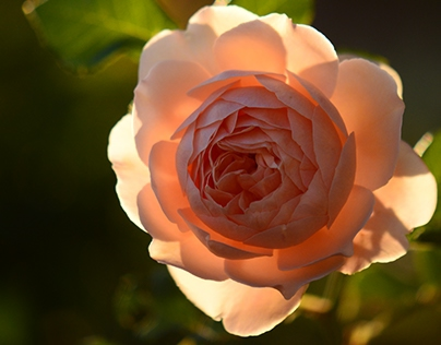 The Rose at Sunset