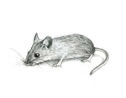 Rat (graphite)