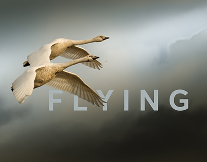 Flying with Swans