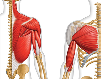 Anatomical illustrations - muscles