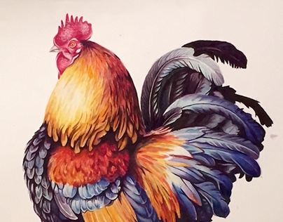 Rooster, Scientific Illustration