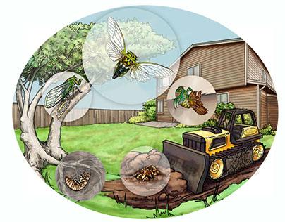 Annual Cicada life-cycle diagram