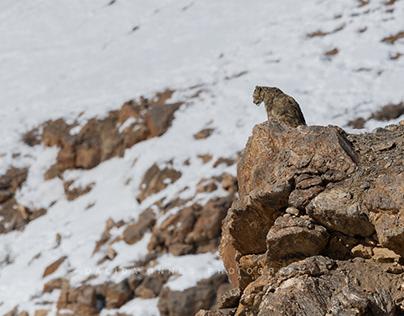 Snow Leopard February 2020