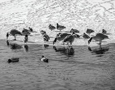 Waterfowl*